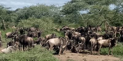 Kenya Tanzania Wildebeest Migration